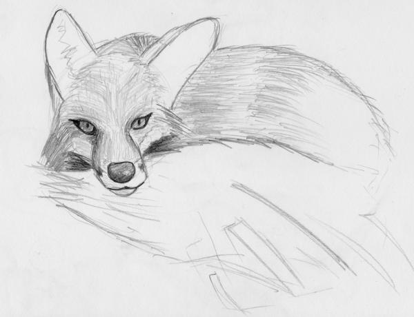 Sitting Fox: Unfinished sketch of a sitting fox