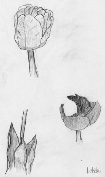 Tulips: I hate drawing flowers; I can never draw them right.